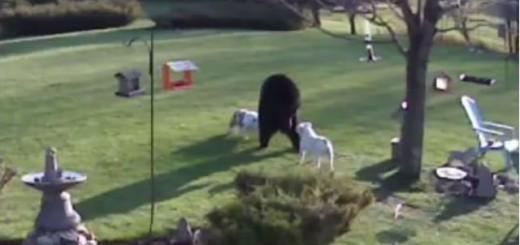 【リアル銀牙】クマを追い込むブルドッグ強えぇ!ってなる動画