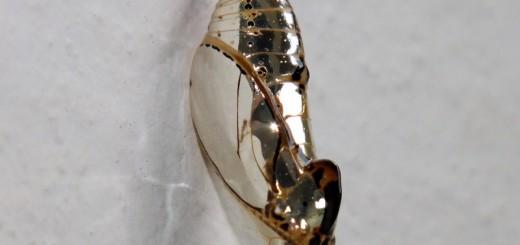 メタリック過ぎ!コスタリカに生息する蝶のサナギ