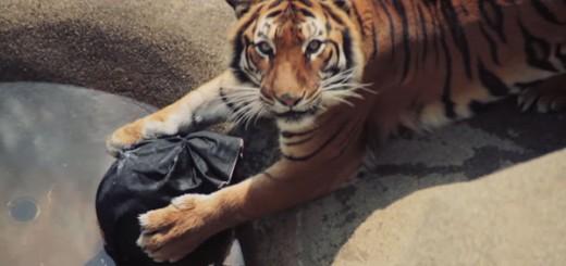 超ワイルド! 動物園の虎が作ったダメージジーンズ、ヤフオク15万円で落札される