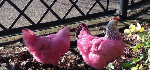 食べ続けると体がピンクになる!?鶏をも染めたアメリカの加工食品がヤバい