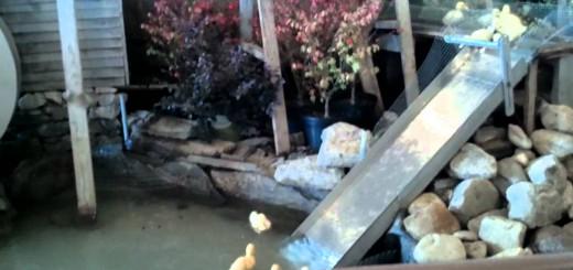 アヒルの子がウォータースライダーで滑りまくり!ほっこり動画の裏にある、アヒルの命をかけた闘い