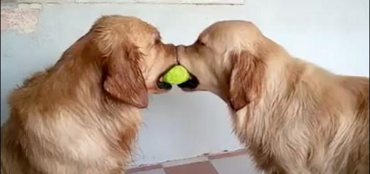 テニスボールを巡る犬たちの仁義なき戦い、その衝撃的結末とは!?