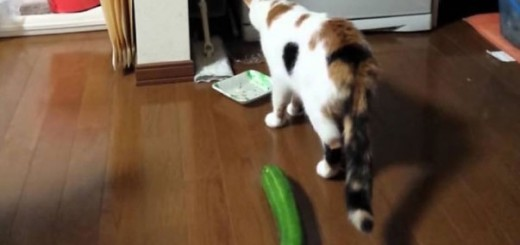 世界各地で猫VSきゅうりの仁義なき戦いが勃発!その理由とは…!?