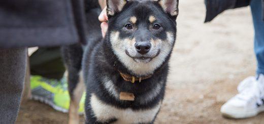 愛犬はどの形?日本犬の尻尾の形と呼称の一覧が話題