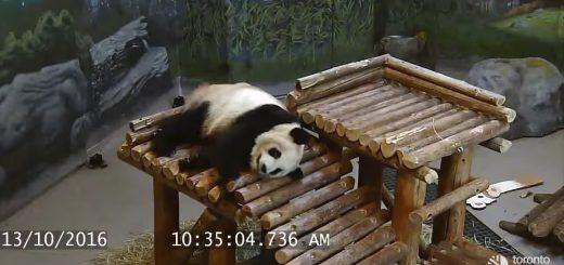 可愛すぎ!トロント動物園の「落下するパンダ動画まとめ」が悶絶レベルだと話題