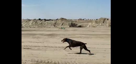 【衝撃映像】時速48キロ!散歩で自動車と並走するドーベルマンが速すぎ